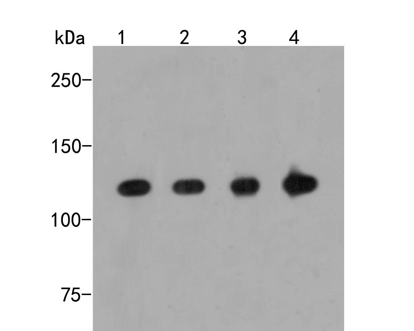 Western blot analysis of RanBP9 on different lysates. Proteins were transferred to a PVDF membrane and blocked with 5% BSA in PBS for 1 hour at room temperature. The primary antibody (ER2001-63, 1/500) was used in 5% BSA at room temperature for 2 hours. Goat Anti-Rabbit IgG - HRP Secondary Antibody (HA1001) at 1:5,000 dilution was used for 1 hour at room temperature.<br />  Positive control: <br />  Lane 1: SKBR-3 cell lysate<br />  Lane 2: 293 cell lysate<br />  Lane 3: Mouse lung tissue lysate<br />  Lane 4: Rat brain tissue lysate