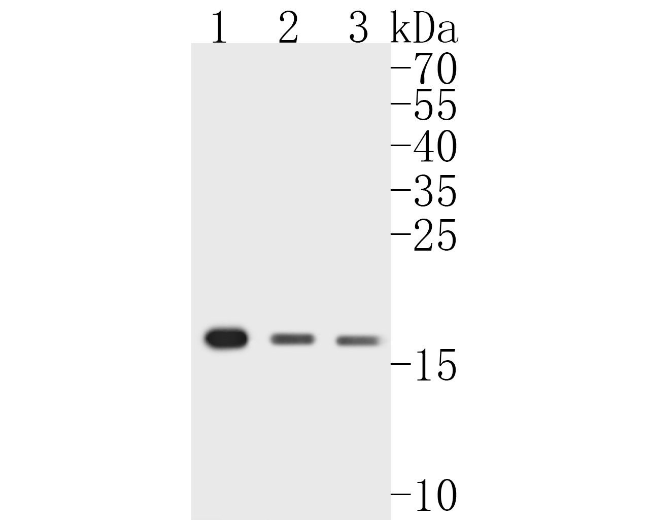 Western blot analysis of CIRP on different lysates. Proteins were transferred to a PVDF membrane and blocked with 5% BSA in PBS for 1 hour at room temperature. The primary antibody (ET7111-15, 1/500) was used in 5% BSA at room temperature for 2 hours. Goat Anti-Rabbit IgG - HRP Secondary Antibody (HA1001) at 1:5,000 dilution was used for 1 hour at room temperature.<br /> Positive control: <br /> Lane 1: Raji cell lysate<br /> Lane 2: Hela cell lysate<br /> Lane 3: Daudi cell lysate