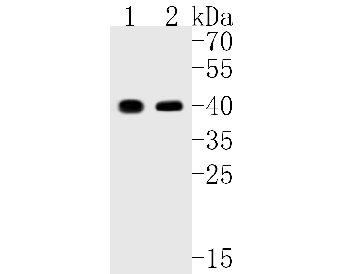 Western blot analysis of QK1 on different lysates. Proteins were transferred to a PVDF membrane and blocked with 5% BSA in PBS for 1 hour at room temperature. The primary antibody (ET7111-32, 1/500) was used in 5% BSA at room temperature for 2 hours. Goat Anti-Rabbit IgG - HRP Secondary Antibody (HA1001) at 1:5,000 dilution was used for 1 hour at room temperature.<br /> Positive control: <br /> Lane 1: K562 cell lysate<br /> Lane 2: Hela cell lysate