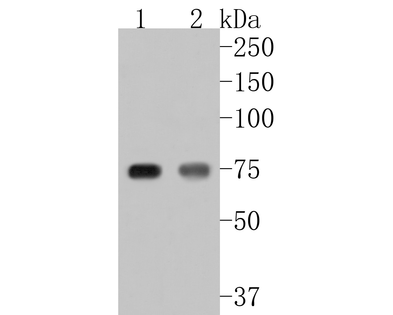 Western blot analysis of FACL4 on different lysates. Proteins were transferred to a PVDF membrane and blocked with 5% BSA in PBS for 1 hour at room temperature. The primary antibody (ET7111-43, 1/500) was used in 5% BSA at room temperature for 2 hours. Goat Anti-Rabbit IgG - HRP Secondary Antibody (HA1001) at 1:5,000 dilution was used for 1 hour at room temperature.<br /> Positive control: <br /> Lane 1: NIH/3T3 cell lysate<br /> Lane 2: HepG2 cell lysate
