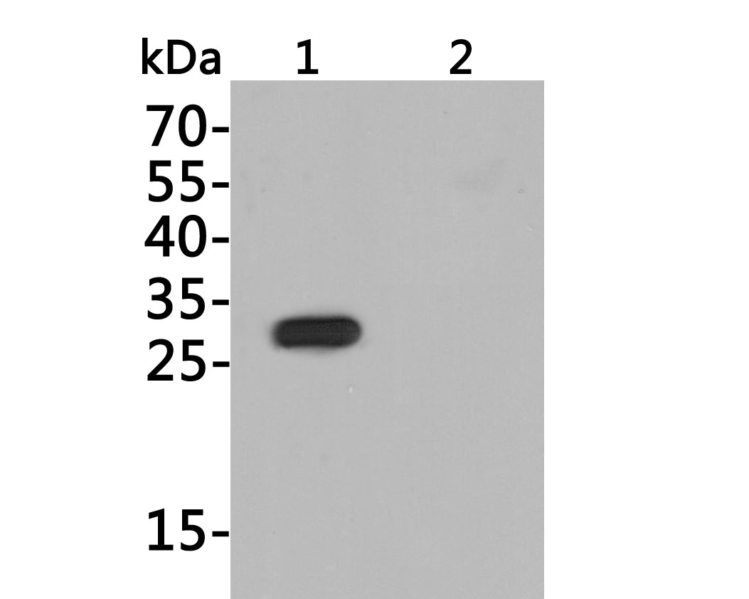 Western blot analysis of His-Tag on different lysates. Proteins were transferred to a PVDF membrane and blocked with 5% BSA in PBS for 1 hour at room temperature. The primary antibody (0812-1, 1/500) was used in 5% BSA at room temperature for 2 hours. Goat Anti-Rabbit IgG - HRP Secondary Antibody (HA1001) at 1:5,000 dilution was used for 1 hour at room temperature.<br /> Positive control:<br /> Lane 1: C-terminal His-tagged recombinant protein<br /> Lane 2: N-terminal His-tagged recombinant protein