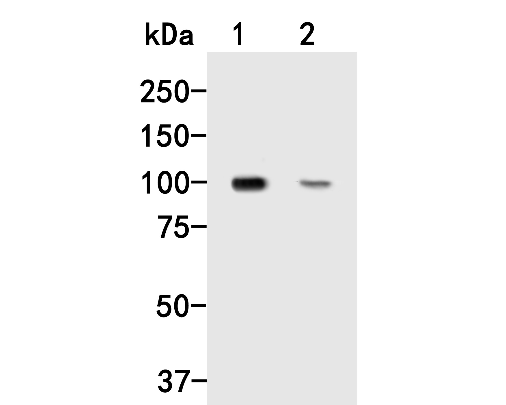 Western blot analysis of Dynamin 3 on different lysates. Proteins were transferred to a PVDF membrane and blocked with 5% BSA in PBS for 1 hour at room temperature. The primary antibody (HA500032, 1/500) was used in 5% BSA at room temperature for 2 hours. Goat Anti-Rabbit IgG - HRP Secondary Antibody (HA1001) at 1:5,000 dilution was used for 1 hour at room temperature.<br /> Positive control: <br /> Lane 1: Rat brain tissue lysate<br /> Lane 2: NIH/3T3 cell lysate