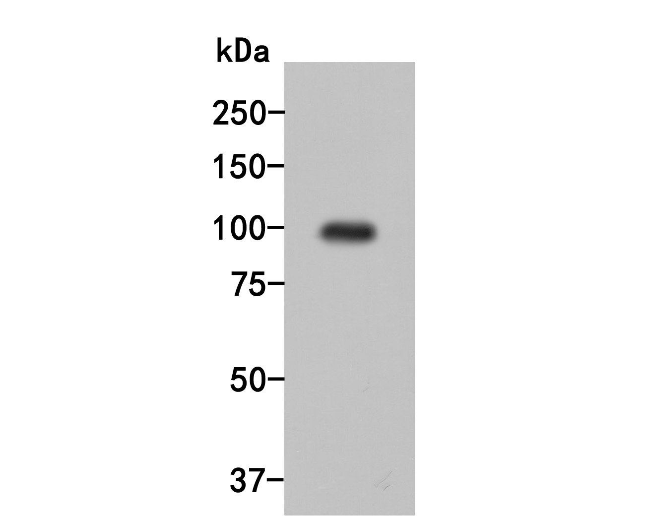 Western blot analysis of Dynamin 3 on human brain tissue lysates. Proteins were transferred to a PVDF membrane and blocked with 5% BSA in PBS for 1 hour at room temperature. The primary antibody (HA500032, 1/500) was used in 5% BSA at room temperature for 2 hours. Goat Anti-Rabbit IgG - HRP Secondary Antibody (HA1001) at 1:5,000 dilution was used for 1 hour at room temperature.
