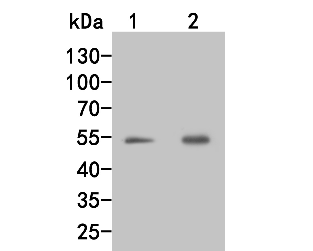 Western blot analysis of Factor IX on different lysates. Proteins were transferred to a PVDF membrane and blocked with 5% BSA in PBS for 1 hour at room temperature. The primary antibody (HA500035, 1/500) was used in 5% BSA at room temperature for 2 hours. Goat Anti-Rabbit IgG - HRP Secondary Antibody (HA1001) at 1:5,000 dilution was used for 1 hour at room temperature.<br /> Positive control: <br /> Lane 1: K562 cell lysate<br /> Lane 2: Siha cell lysate