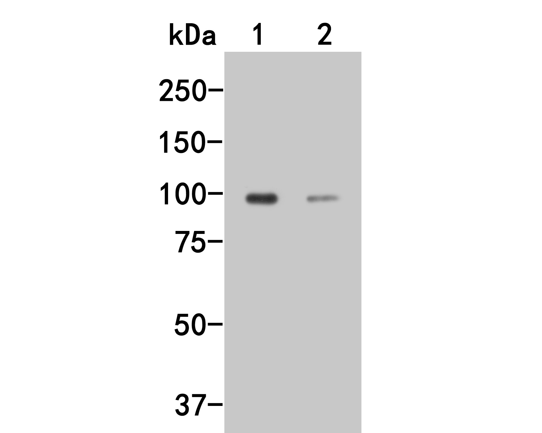 Western blot analysis of Dynamin 3 on different lysates. Proteins were transferred to a PVDF membrane and blocked with 5% BSA in PBS for 1 hour at room temperature. The primary antibody (HA500037, 1/500) was used in 5% BSA at room temperature for 2 hours. Goat Anti-Rabbit IgG - HRP Secondary Antibody (HA1001) at 1:5,000 dilution was used for 1 hour at room temperature.<br /> Positive control: <br /> Lane 1: Rat brain tissue lysate<br /> Lane 2: PC12 cell lysate