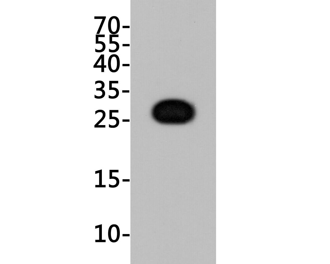Western blot analysis of GFP on K562 cell lysates transfected with GFP. Proteins were transferred to a PVDF membrane and blocked with 5% BSA in PBS for 1 hour at room temperature. The primary antibody (M1004-8, 1/1000) was used in 5% BSA at room temperature for 2 hours. Goat Anti-Mouse IgG - HRP Secondary Antibody (HA1006) at 1:5,000 dilution was used for 1 hour at room temperature.