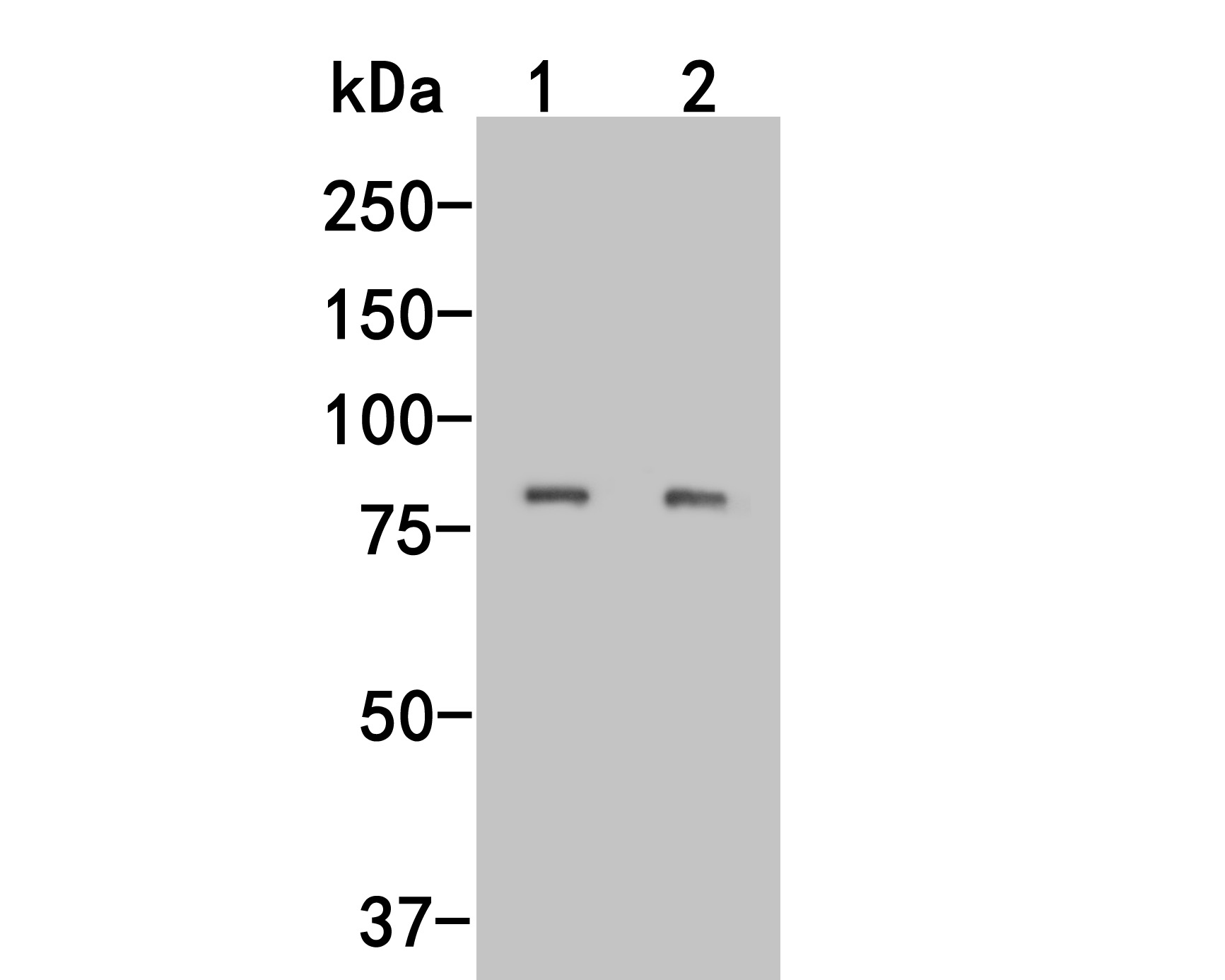 Western blot analysis of LRRN3 on different lysates. Proteins were transferred to a PVDF membrane and blocked with 5% BSA in PBS for 1 hour at room temperature. The primary antibody (M1012-8, 1/500) was used in 5% BSA at room temperature for 2 hours. Goat Anti-Mouse IgG - HRP Secondary Antibody (HA1006) at 1:5,000 dilution was used for 1 hour at room temperature.<br /> Positive control: <br /> Lane 1: SHSY5Ycell lysate<br /> Lane 2: Rat testis tissue lysate