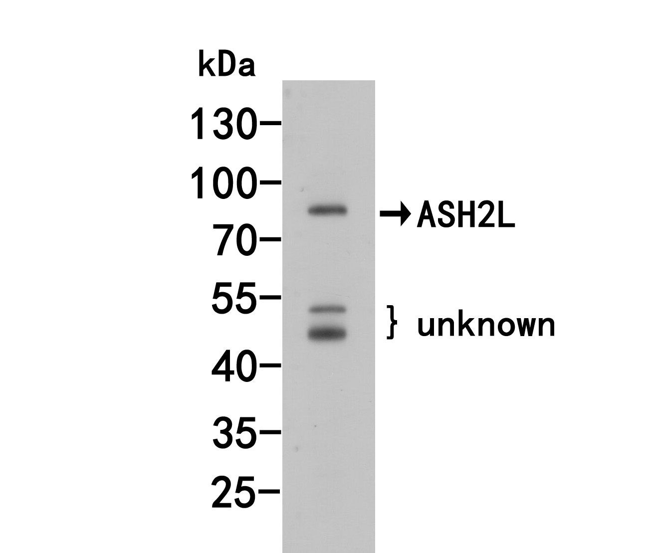 Western blot analysis of ASH2L on PC-12 cell lysates. Proteins were transferred to a PVDF membrane and blocked with 5% BSA in PBS for 1 hour at room temperature. The primary antibody (R1408-1, 1/500) was used in 5% BSA at room temperature for 2 hours. Goat Anti-Rabbit IgG - HRP Secondary Antibody (HA1001) at 1:5,000 dilution was used for 1 hour at room temperature.