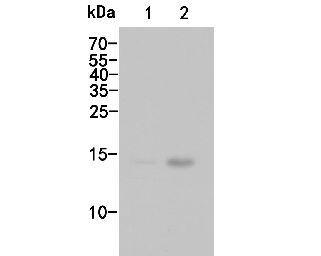 Western blot analysis of Histone H3 (acetyl K27) on different lysates. Proteins were transferred to a PVDF membrane and blocked with 5% BSA in PBS for 1 hour at room temperature. The primary antibody (HA500046, 1/500) was used in 5% BSA at room temperature for 2 hours. Goat Anti-Rabbit IgG - HRP Secondary Antibody (HA1001) at 1:5,000 dilution was used for 1 hour at room temperature.<br /> Positive control:<br /> Lane 1: Hela cell lysate, untreated<br /> Lane 2: Hela cell lysate, treated with Sodium Butyrate 0.5mM for 24h