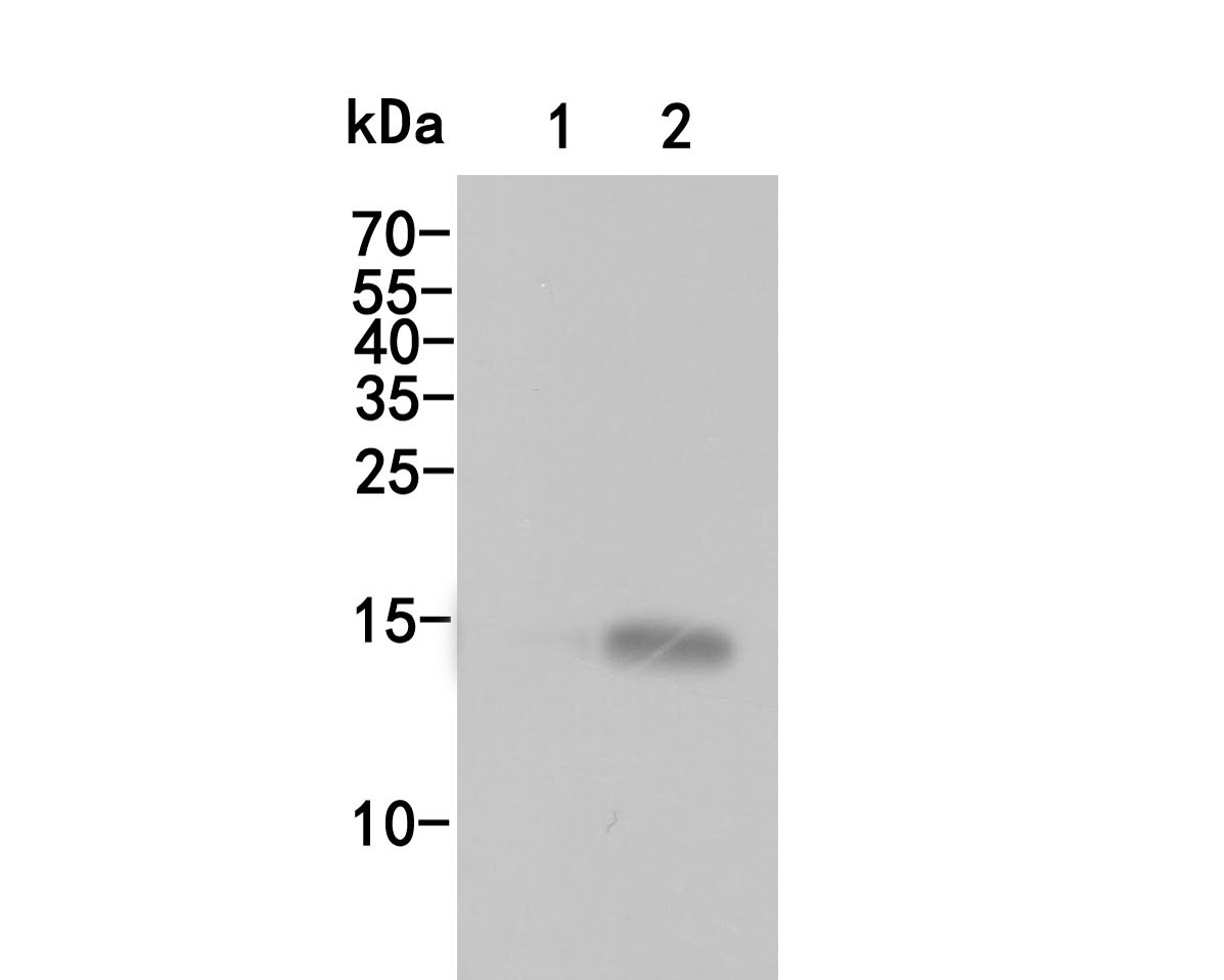 Western blot analysis of Histone H3 (acetyl K27)on different lysates. Proteins were transferred to a PVDF membrane and blocked with 5% BSA in PBS for 1 hour at room temperature. The primary antibody (HA500046, 1/500) was used in 5% BSA at room temperature for 2 hours. Goat Anti-Rabbit IgG - HRP Secondary Antibody (HA1001) at 1:5,000 dilution was used for 1 hour at room temperature.<br /> Positive control:<br /> Lane 1: NIH/3T3 cell lysate, untreated<br /> Lane 2: NIH/3T3 cell lysate, treated with trichostatin at 500 ng/ml for 4h