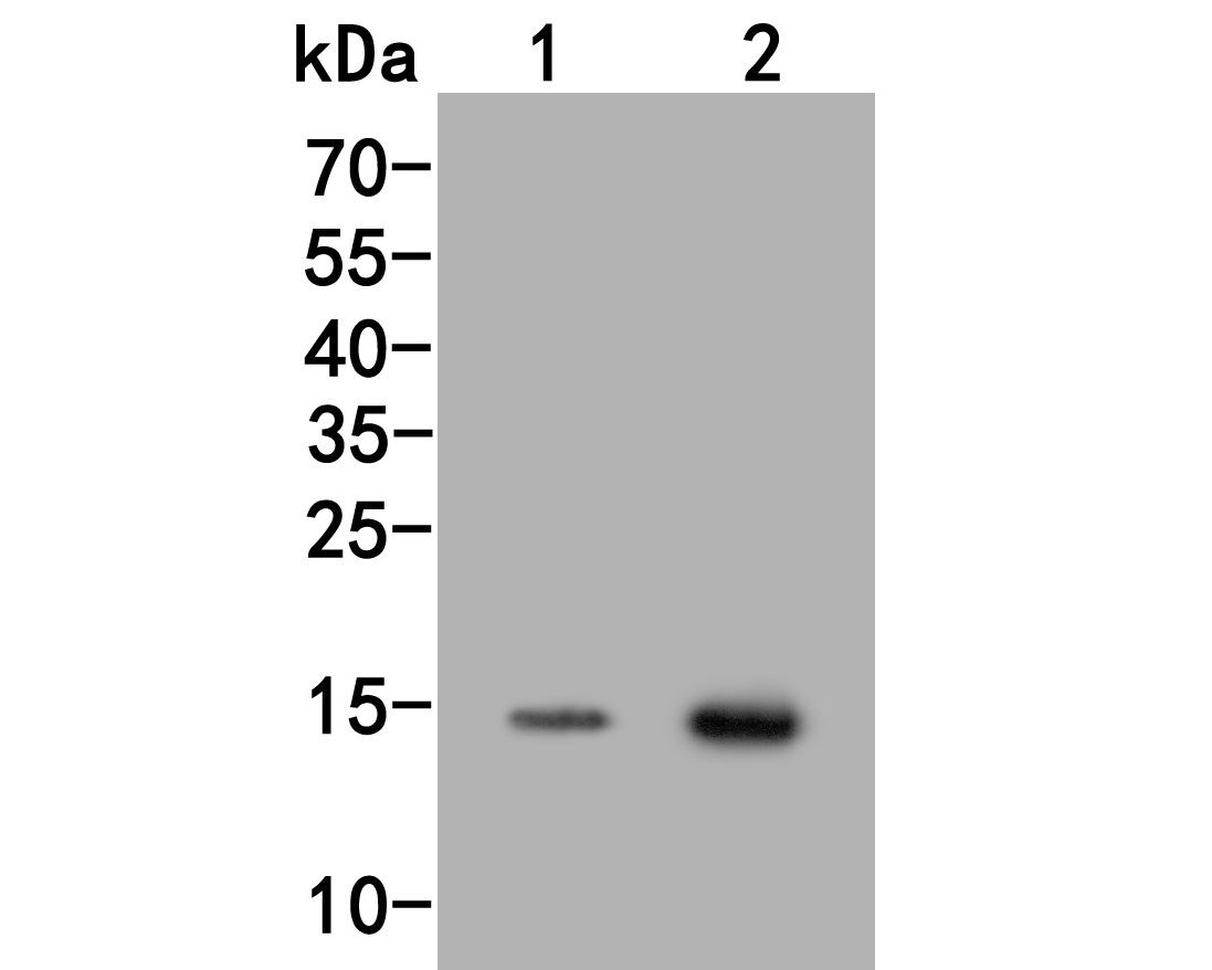 Western blot analysis of Histone H3 (acetyl K18) on different lysates. Proteins were transferred to a PVDF membrane and blocked with 5% BSA in PBS for 1 hour at room temperature. The primary antibody (HA500047, 1/500) was used in 5% BSA at room temperature for 2 hours. Goat Anti-Rabbit IgG - HRP Secondary Antibody (HA1001) at 1:5,000 dilution was used for 1 hour at room temperature.<br /> Positive control: <br /> Lane 1: Hela cell lysate, untreated<br /> Lane 2: Hela cell lysate, treated with Sodium Butyrate 0.5mM  for 24h