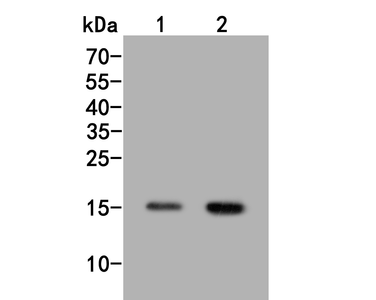 Western blot analysis of Histone H3 (acetyl K18) on different lysates. Proteins were transferred to a PVDF membrane and blocked with 5% BSA in PBS for 1 hour at room temperature. The primary antibody (HA500047, 1/500) was used in 5% BSA at room temperature for 2 hours. Goat Anti-Rabbit IgG - HRP Secondary Antibody (HA1001) at 1:5,000 dilution was used for 1 hour at room temperature.<br /> Positive control: <br /> Lane 1: Hela cell lysate, untreated<br /> Lane 2: Hela cell lysate, treated with trichostatin at 500 ng/ml for 4h