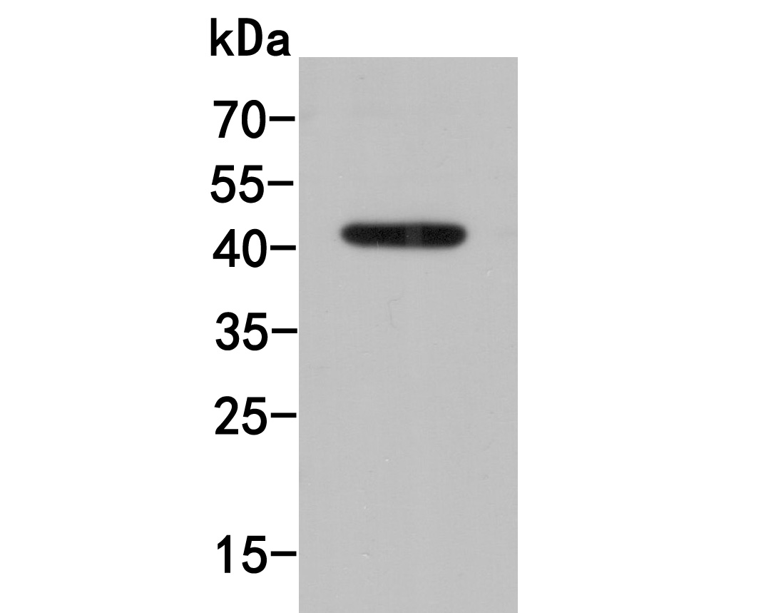 Western blot analysis of PD-L1 on MCF-7 cell lysates. Proteins were transferred to a PVDF membrane and blocked with 5% BSA in PBS for 1 hour at room temperature. The primary antibody (R1511-13, 1/500) was used in 5% BSA at room temperature for 2 hours. Goat Anti-Rabbit IgG - HRP Secondary Antibody (HA1001) at 1:5,000 dilution was used for 1 hour at room temperature.