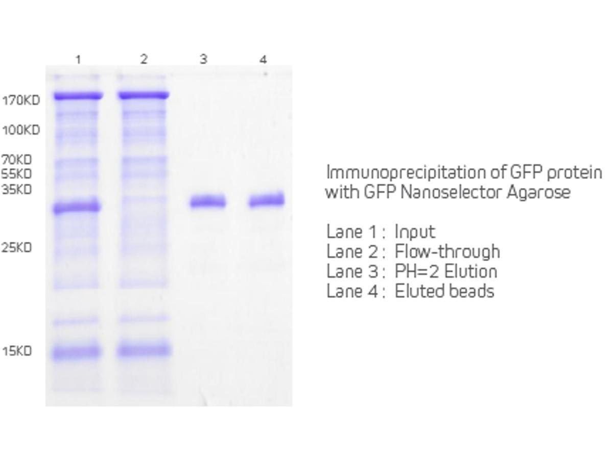 Immunoprecipitation of GFP protein with GFP Nanoselector Agarose.<br />  <br />  Lane 1:Input<br />  Lane 2: Flow-through<br />  Lane 3: PH=2 Elution<br />  Lane 4: Eluted Beads