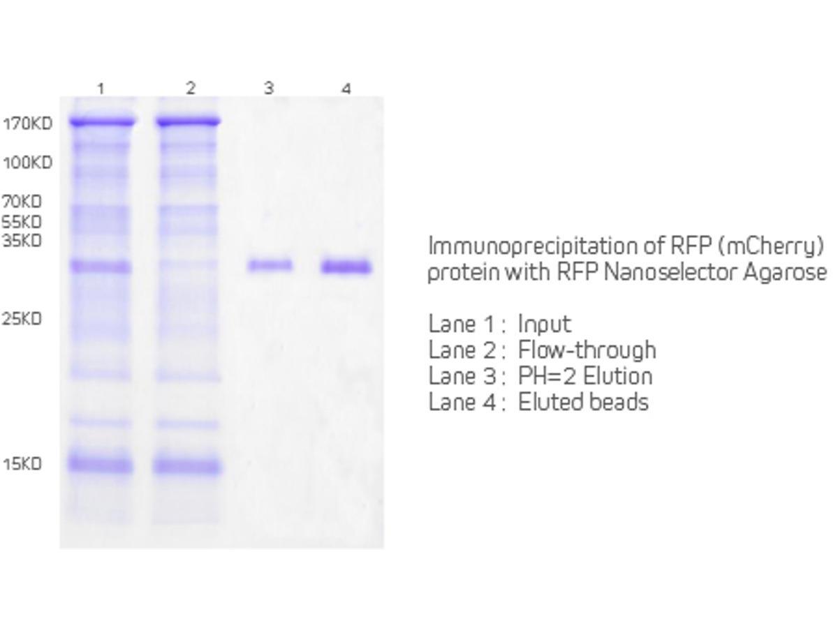 Immunoprecipitation of RFP protein (mCherry) with RFP Nanoselector Agarose.<br />  <br />  Lane 1:Input<br />  Lane 2: Flow-through<br />  Lane 3: PH=2 Elution<br />  Lane 4: Eluted Beads
