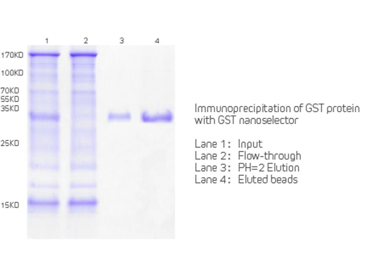 Immunoprecipitation of GST protein With GST Nanoselector Agarose.<br />  <br />  Lane 1:Input<br />  Lane 2: Flow-through<br />  Lane 3: PH=2 Elution<br />  Lane 4: Eluted Beads