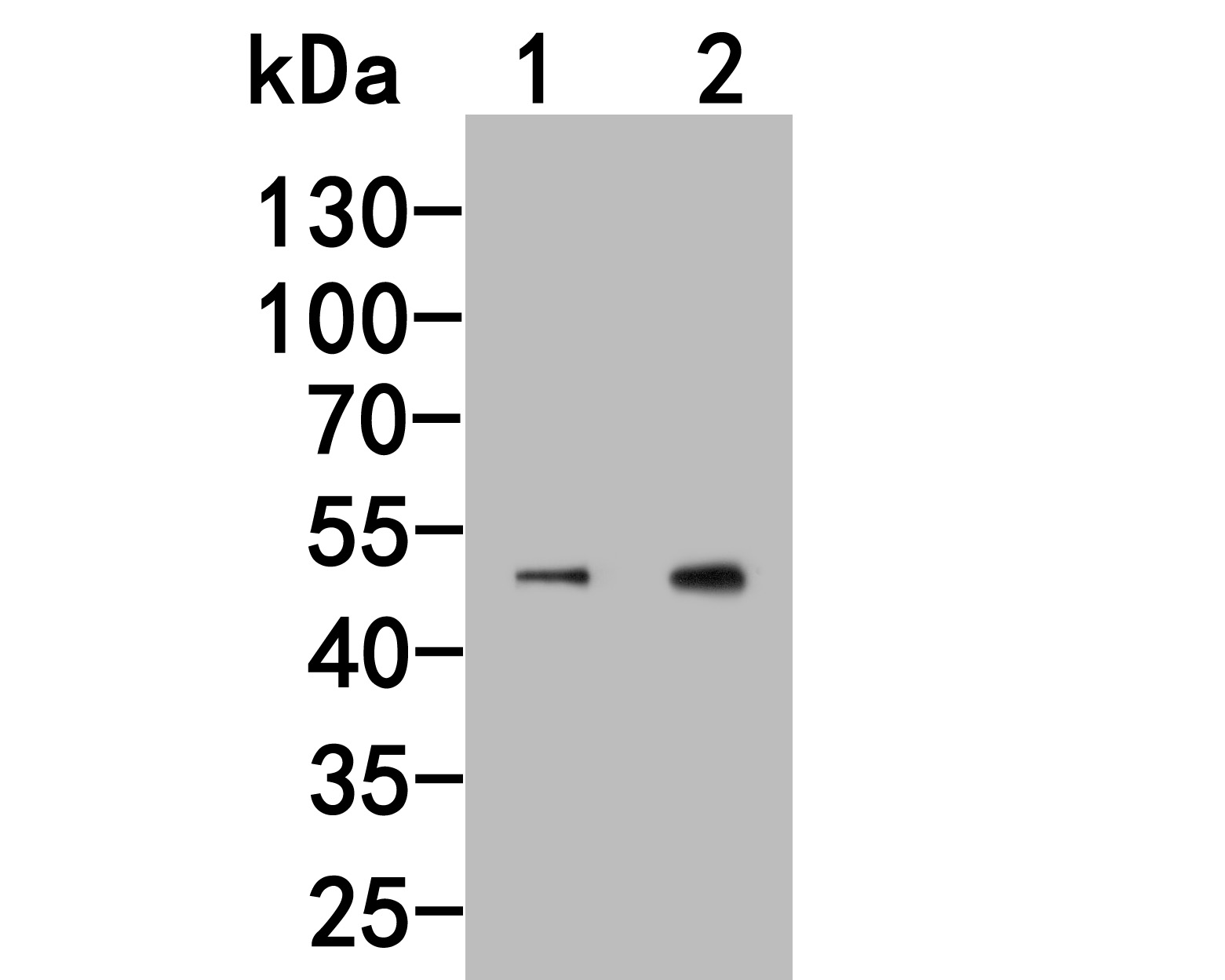 Western blot analysis of FLI1 on different lysates. Proteins were transferred to a PVDF membrane and blocked with 5% BSA in PBS for 1 hour at room temperature. The primary antibody (HA500149, 1/1,000) was used in 5% BSA at room temperature for 2 hours. Goat Anti-Rabbit IgG - HRP Secondary Antibody (HA1001) at 1:200,000 dilution was used for 1 hour at room temperature.<br /> Positive control: <br /> Lane 1: NIH/3T3 cell lysate<br /> Lane 2: Jurkat cell lysate