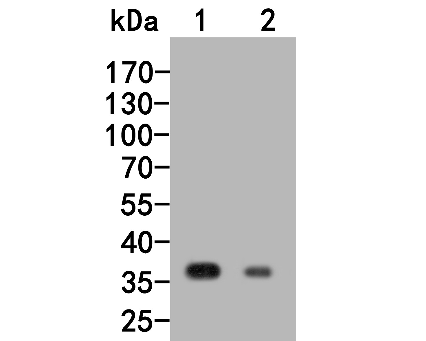Western blot analysis of RGMA on different lysates. Proteins were transferred to a PVDF membrane and blocked with 5% BSA in PBS for 1 hour at room temperature. The primary antibody (HA500148, 1/1,000) was used in 5% BSA at room temperature for 2 hours. Goat Anti-Rabbit IgG - HRP Secondary Antibody (HA1001) at 1:200,000 dilution was used for 1 hour at room temperature.<br /> Positive control: <br /> Lane 1: Hela cell lysate<br /> Lane 2: Human skeletal muscle tissue lysate