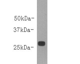 Western blot analysis of Goat IgG Light chain on Goat IgG protein lysates. Proteins were transferred to a PVDF membrane and blocked with 5% BSA in PBS for 1 hour at room temperature. The primary antibody (M0910-2, 1/1000) was used in 5% BSA at room temperature for 2 hours. Goat Anti-Mouse IgG - HRP Secondary Antibody (HA1006) at 1:5,000 dilution was used for 1 hour at room temperature.