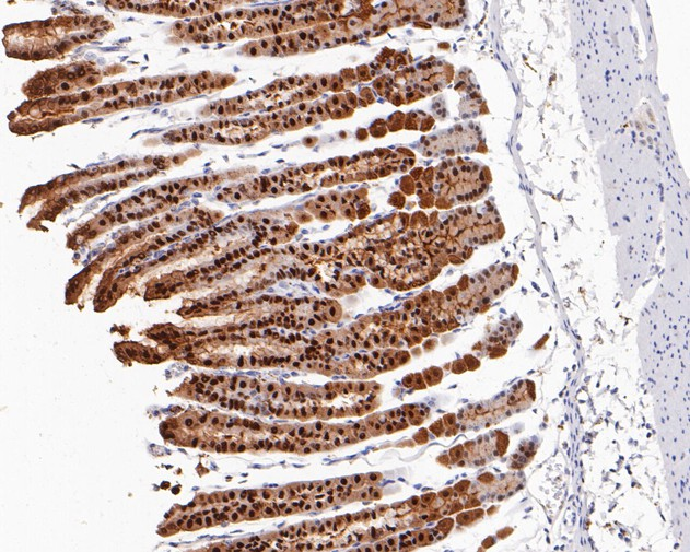 Immunohistochemical analysis of paraffin-embedded mouse stomach tissue using anti-Annexin A10 antibody. The section was pre-treated using heat mediated antigen retrieval with sodium citrate buffer (pH 6.0) for 20 minutes. The tissues were blocked in 5% BSA for 30 minutes at room temperature, washed with ddH2O and PBS, and then probed with the primary antibody (ET1610-57, 1/200)  for 30 minutes at room temperature. The detection was performed using an HRP conjugated compact polymer system. DAB was used as the chromogen. Tissues were counterstained with hematoxylin and mounted with DPX.