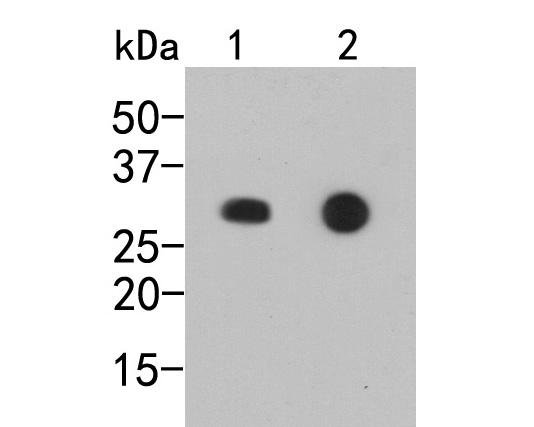 Western blot analysis of Myc-Tag on different lysates. Proteins were transferred to a PVDF membrane and blocked with 5% BSA in PBS for 1 hour at room temperature. The primary antibody (R1208-1, 1/1,000) was used in 5% BSA at room temperature for 2 hours. Goat Anti-Rabbit IgG - HRP Secondary Antibody (HA1001) at 1:5,000 dilution was used for 1 hour at room temperature.<br /> Positive control: <br /> Lane 1: C-terminal Myc-tagged recombinant protein<br /> Lane 2: N-terminal Myc-tagged recombinant protein