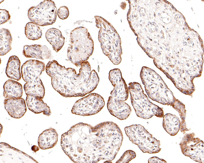 Immunohistochemical analysis of paraffin-embedded human placenta tissue using anti-HER2 / ErbB2 antibody. The section was pre-treated using heat mediated antigen retrieval with Tris-EDTA buffer (pH 8.0-8.4) for 20 minutes.The tissues were blocked in 5% BSA for 30 minutes at room temperature, washed with ddH2O and PBS, and then probed with the primary antibody (ER0106, 1/1,000) for 30 minutes at room temperature. The detection was performed using an HRP conjugated compact polymer system. DAB was used as the chromogen. Tissues were counterstained with hematoxylin and mounted with DPX.