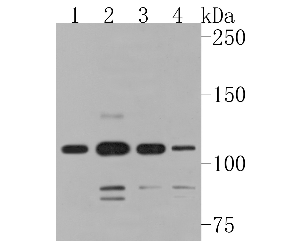 Western blot analysis of SMG5 on different lysates. Proteins were transferred to a PVDF membrane and blocked with 5% BSA in PBS for 1 hour at room temperature. The primary antibody (HA500236, 1/1,000) was used in 5% BSA at room temperature for 2 hours. Goat Anti-Rabbit IgG - HRP Secondary Antibody (HA1001) at 1:200,000 dilution was used for 1 hour at room temperature.<br /> Positive control: <br /> Lane 1: Jurkat cell lysate<br /> Lane 2: Hela cell lysate<br /> Lane 3: 293 cell lysate<br /> Lane 4: THP-1 cell lysate