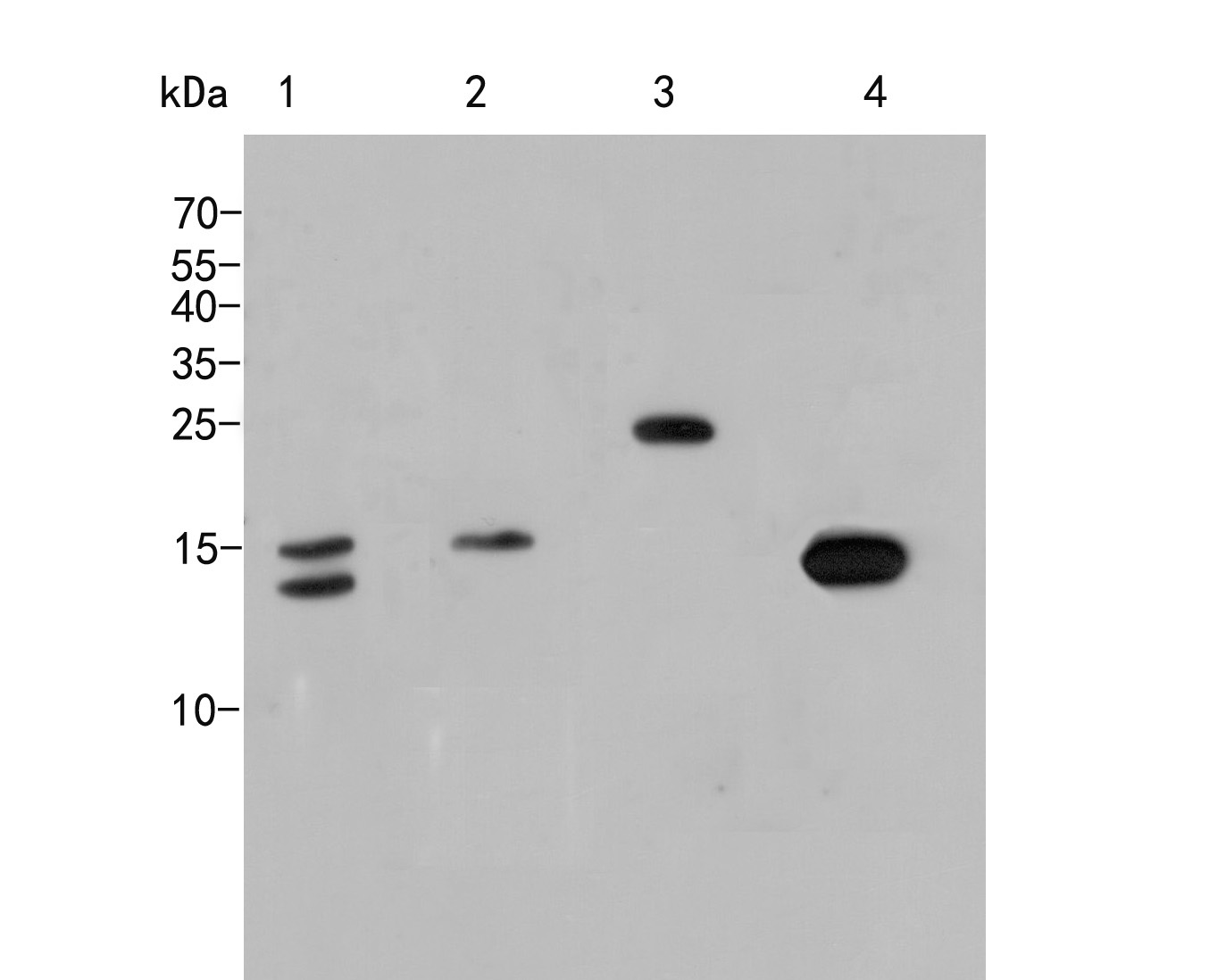 Western blot analysis of Histone H3 on different lysates. Proteins were transferred to a PVDF membrane and blocked with 5% NFDM/TBST for 1 hour at room temperature. The primary antibody (HA500298, 1/1000) was used in 5% NFDM/TBST at room temperature for 2 hours. Goat Anti-Rabbit IgG - HRP Secondary Antibody (HA1001) at 1:5,000 dilution was used for 1 hour at room temperature.<br /> Positive control: <br /> Lane 1: Hela cell lysate<br /> Lane 2: NIH/3T3 cell lysate<br /> Lane 3: Rice tissue lysate<br /> Lane 4: Zebrafish tissue cell lysate