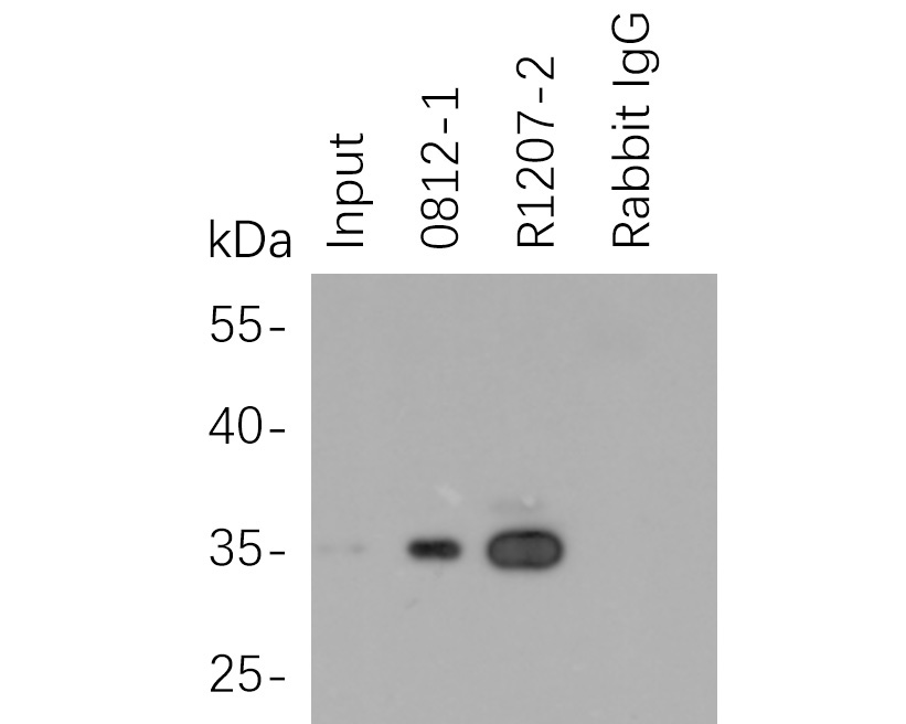His tag was immunoprecipitated in 2µg C terminal His Tag fusion protein lysate with 0812-1 at 2 µg/20 µl agarose. Western blot was performed from the immunoprecipitate using M0812-3 at 1/1000 dilution. Anti-Mouse IgG - HRP Secondary Antibody (HA1006) at 1:20,000 dilution was used for 60 mins at room temperature.<br /> <br /> Lane 1: His Tag fusion protein lysate (input).<br /> Lane 2: 0812-1 IP in His Tag fusion protein lysate.<br /> Lane 3: R1207-2 IP in His Tag fusion protein lysate.<br /> Lane 4: Rabbit IgG instead of 0812-1 in His Tag fusion protein lysate.<br /> <br /> Blocking/Dilution buffer: 5% NFDM/TBST
