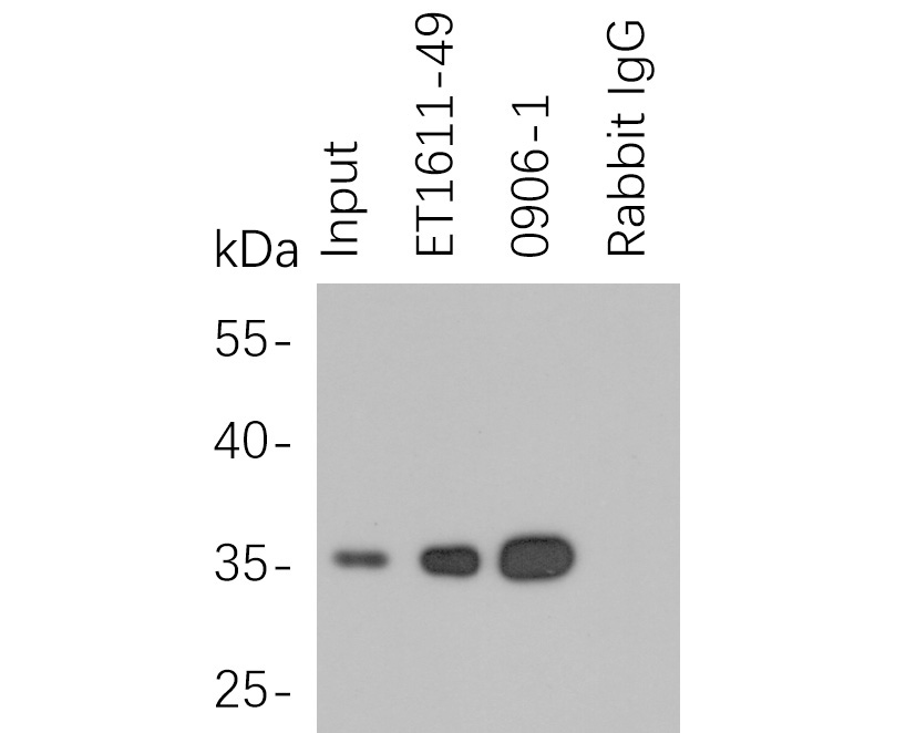 HA tag was immunoprecipitated in 5µg C terminal HA Tag fusion protein lysate with 0906-1 at 2 µg/20 µl agarose. Western blot was performed from the immunoprecipitate using M1008-1 at 1/1000 dilution. Anti-Mouse IgG - HRP Secondary Antibody (HA1006) at 1:20,000 dilution was used for 60 mins at room temperature.<br /> <br /> Lane 1: HA Tag fusion protein lysate (input).<br /> Lane 2: ET1611-49 IP in HA Tag fusion protein lysate.<br /> Lane 3: 0906-1 IP in HA Tag fusion protein lysate.<br /> Lane 4: Rabbit IgG instead of 0906-1 in HA Tag fusion protein lysate.<br /> <br /> Blocking/Dilution buffer: 5% NFDM/TBST